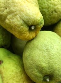 Citrons cédrat <br>InCampagna
